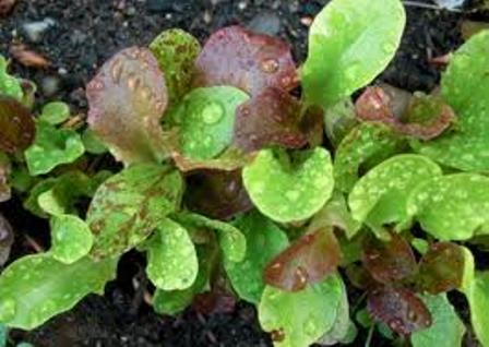 Mixed organic greens