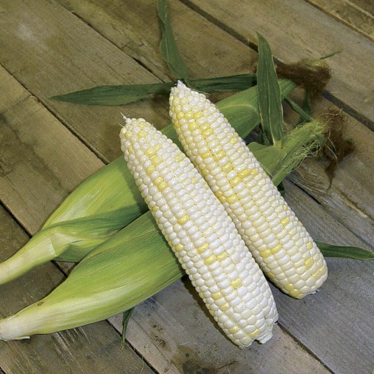 organic white corn
