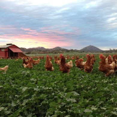 organic pastured eggs farm