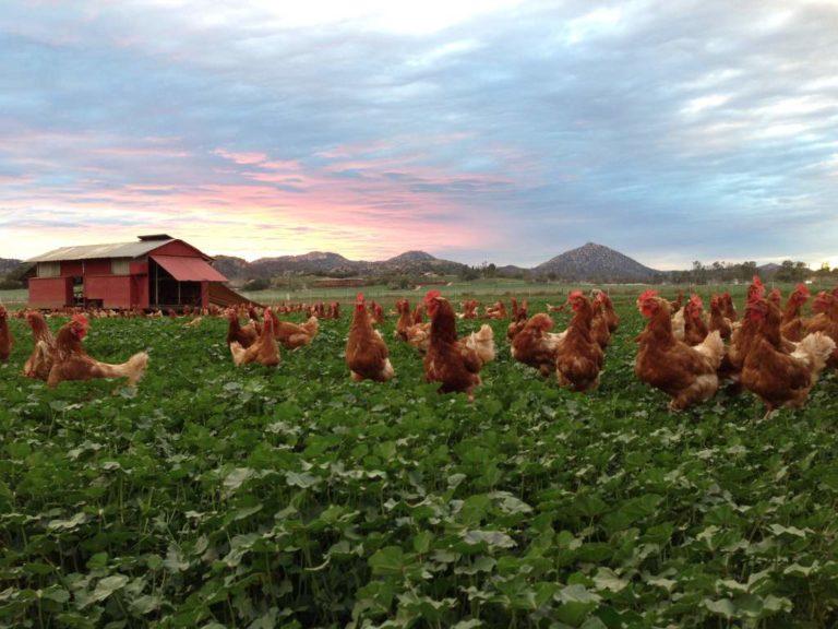 organic pastured eggs farm