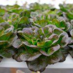 Lettuce at Sundial Farms. Local food, CSA - San Diego, CA.