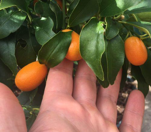 kumquats on tree - how to eat kumquats - Daily Harvest Express, San Diego CSA