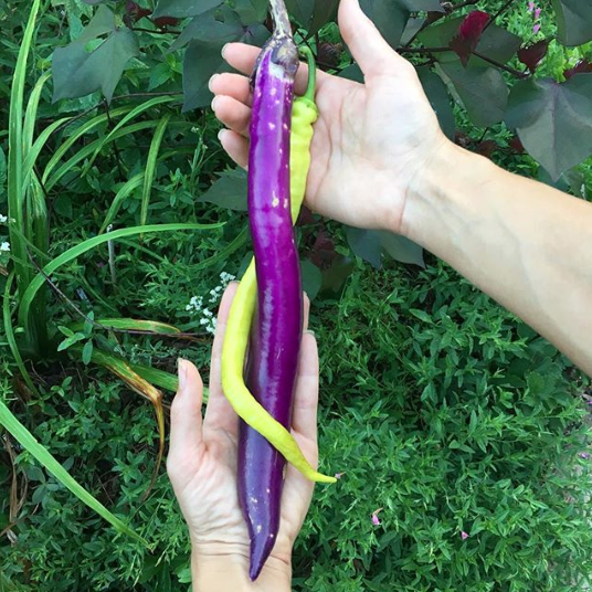 Eggplants come in all different shapes, sizes, and colors. Here' s a Corbaci pepper and a Japanese Pickling eggplant, which seem destined for each other.