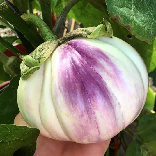 A beautiful (and giant) multi-colored heirloom eggplant.