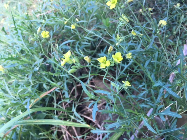 Sylvetta arugula flowers. The flowers and seeds of arugula are also edible; they also pack a spicy punch, like the leaves do. / Why and how to eat arugula