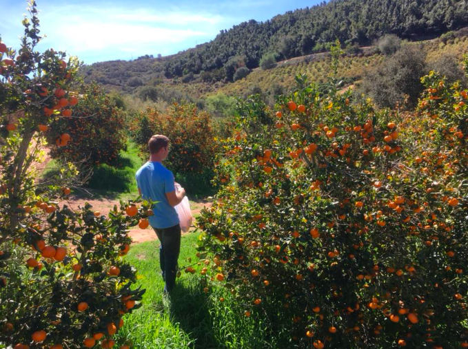 Nick taking a look at the ripe citrus at San Gabriel Ranch.