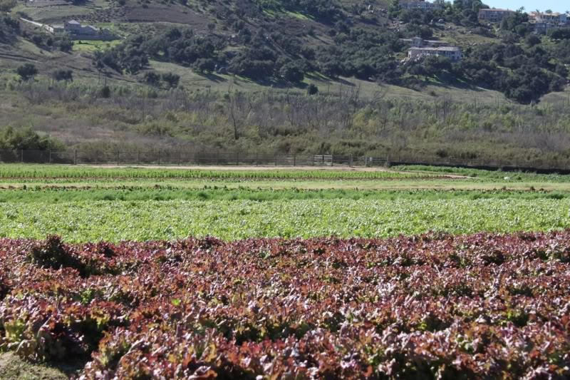 Fields of lettuce at Be Wise Ranch. The increasing frequency and severity of extreme weather events is taking its toll on farmers around the country, not just in California.