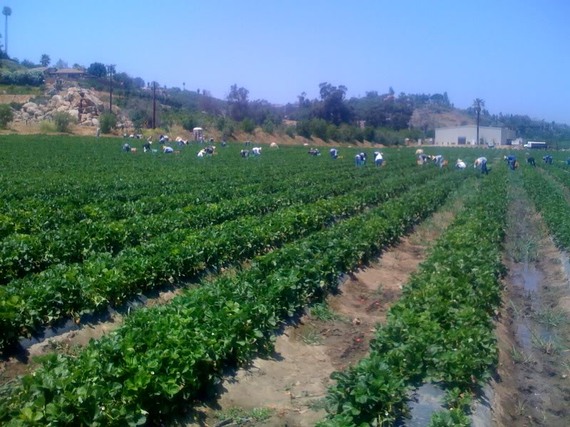 Workers harvesting crops at Be Wise Ranch.