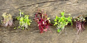 The Big Deal about Microgreens