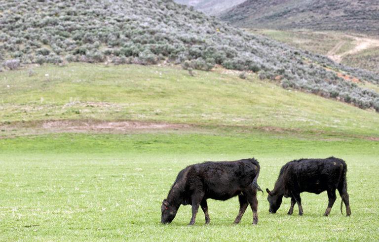 grass fed angus cows