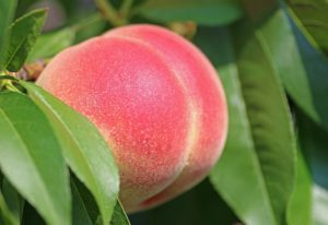 All You Need to Know About White Peaches and Nectarines