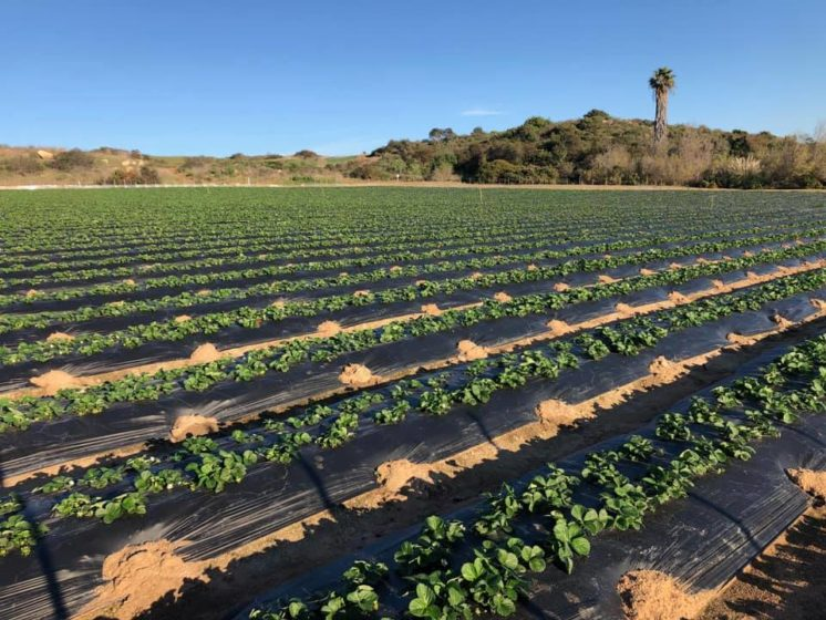 valdivia farms strawberry patch