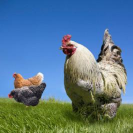 farm jidori chicken